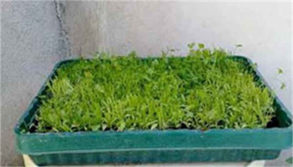ایده پرورش سبزیجات ارگانیک خانگی