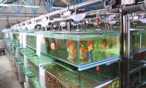 ایده پرورش ماهی زینتی در خانه