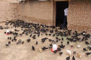 ایده پرورش مرغ بومی تخمگذار