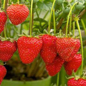 ایده تولید و پرورش توت فرنگی