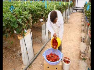 میزان برداشت توت فرنگی گلخانه ای