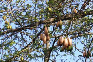 درخت کاپوک (kapok tree)