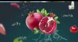 انارستان مجتمع کشت و صنعت مجید آباد