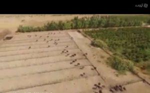 واحد پرورش شتر مرغ