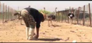 تولید و پرورش شتر مرغ در مجتمع کشت و صنعت مجید آباد