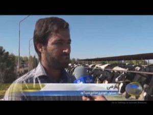 گاوداری مجتمع کشت و صنعت مجید آباد