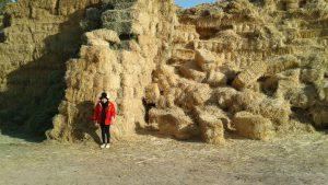 تامین علوفه دامی در مجتمع کشت و صنعت مجید آباد