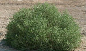 Read more about the article گیاه اُشنان و کاربرد های گیاه اُشنان