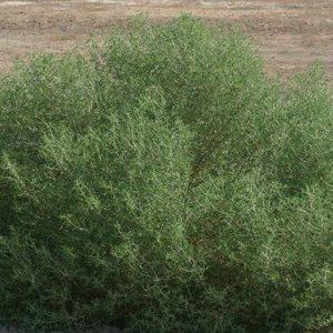 گیاه اُشنان و کاربرد های گیاه اُشنان