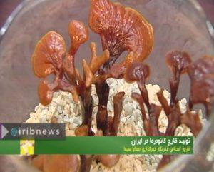 کارآفرینی با تولید قارچ گانودرما در ایران