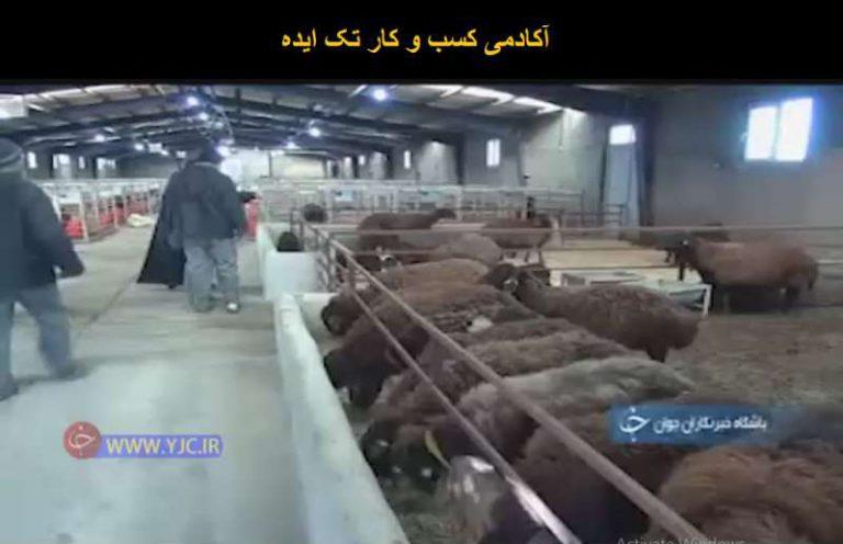 کارآفرینی با اصلاح نژاد گوسفند افشاری