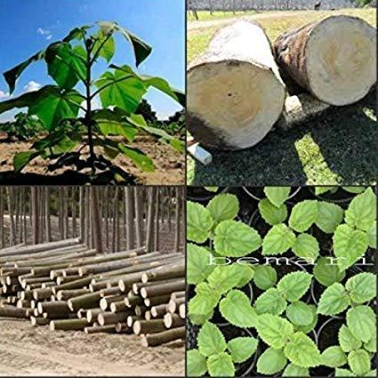 آموزش کاشت بذر درخت پالونیا (پائولونیا)
