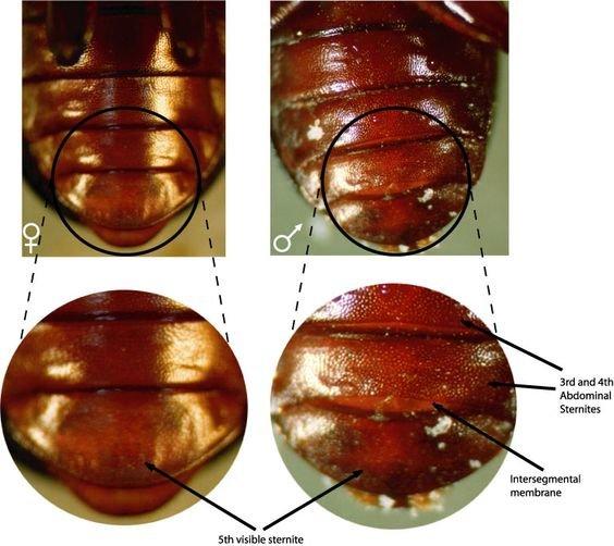 روش تشخیص نر یا ماده بودن سوسک میلورم