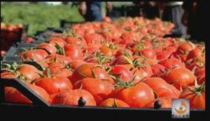 بوشهر، رتبه اول تولید گوجه فرنگی خارج از فصل