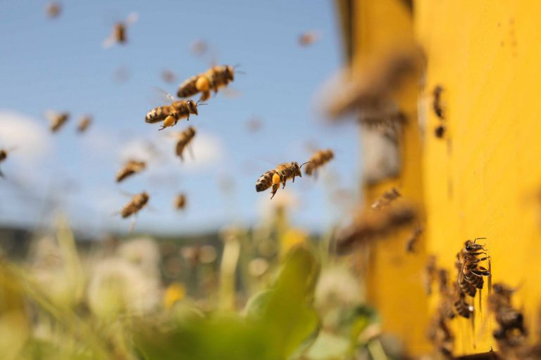 کارآفرینی با پرورش زنبور عسل