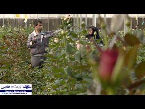 تولید گل شاخه بریده به روش هیدروپونیک