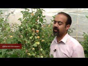 تولید و پرورش گلخانه ای فیسالیس در ایران