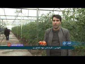 تولید گوجه مرغوب گلخانه ای