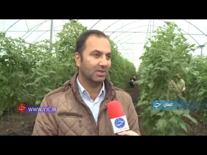 کارآفرینی با راه اندازی گلخانه پرورش گوجه فرنگی