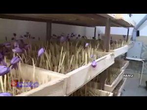 کشت زعفران در خانه با روش جدید