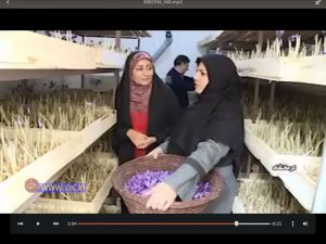 روش نوین کشت و پرورش زعفران در خانه