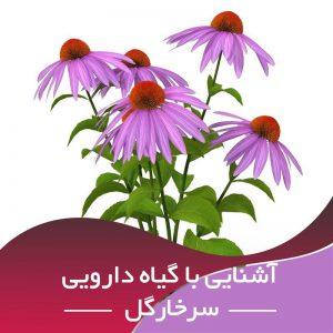کسب و کار پر سود پرورش و تکثیر گیاه دارویی اکیناسه (سر خار گل)