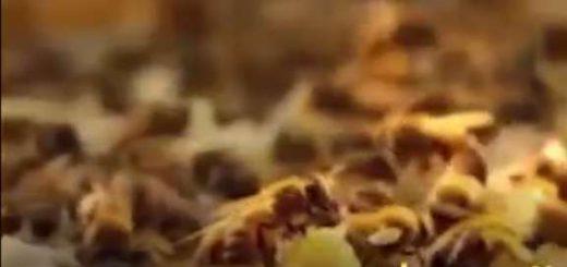 زنبور عسل کارآفرین برتر
