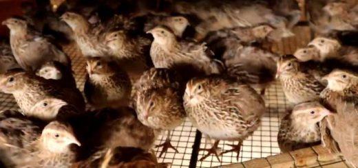 آموزش پرورش بلدرچین تخمگذار