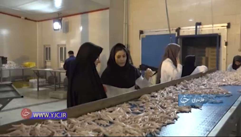 تولید و صادرات پای مرغ در مازندران