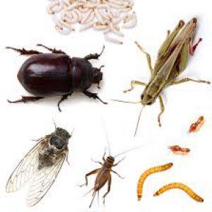حشرات خوراکی, فرصت عالی کسب و کار در ایران!