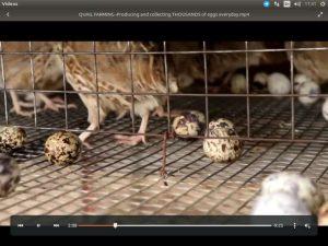 قفس مناسب برای پرورش بلدرچین تخمگذار