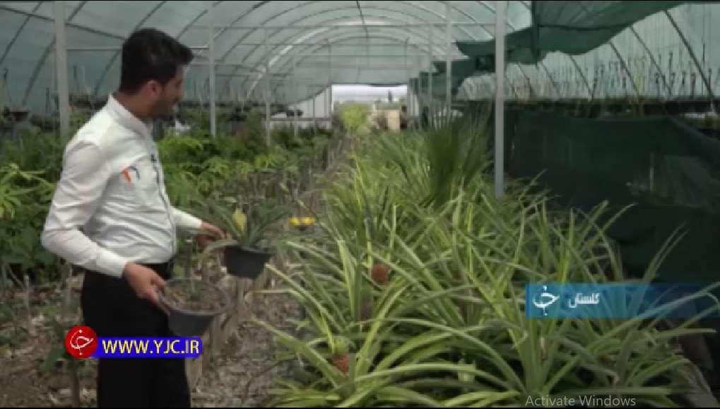 گلخانه پرورش آناناس
