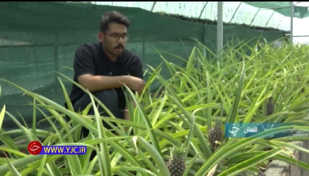 ایده کسب و کار جدید پرورش آناناس