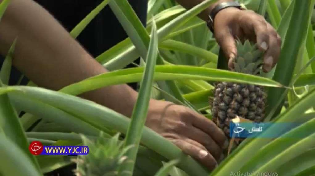 تکثیر آناناس از طریق پاجوش های میوه آناناس