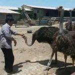 باید و نباید های پرورش شتر مرغ از زبان فرهنگ مالکی