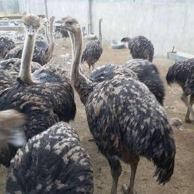باید و نباید های پرورش شتر مرغ
