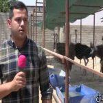 ایده پرورش شتر مرغ