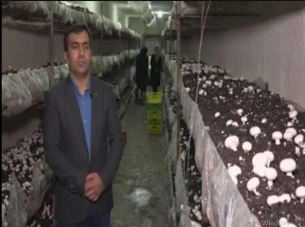 تولید روزانه 4.5 تن قارچ خوراکی در همدان
