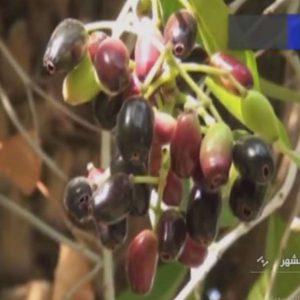 ایده کارآفرینی با کشت گیاه جمبو (Jambo)