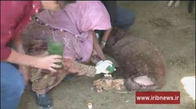 درمان پای لنگان گوسفندان