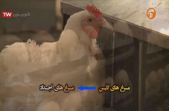 تولید مرغ های اجداد از مرغ های لاین