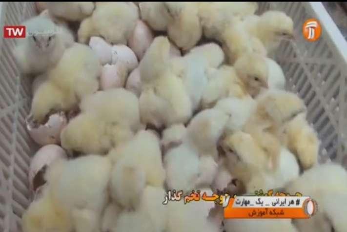 تولید جوجه های گوشتی و تخمگذار از مرغ های مادر