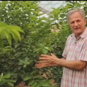 ایده تولید لیمو ترش در گلخانه