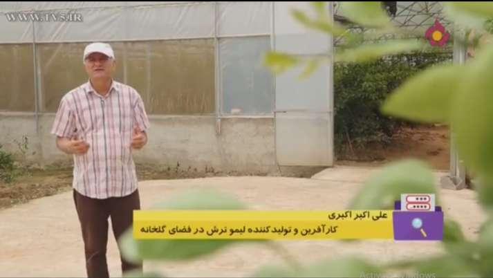 علی اکبر اکبری کارآفرین و تولید کننده لیمو ترش در گلخانه