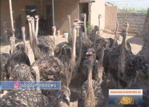 Read more about the article کسب و کار پرورش بزرگترین پرنده دنیا در خرمشهر