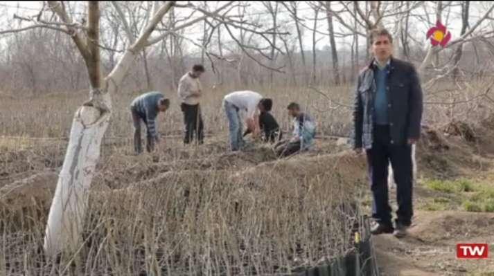 تولید نهال گردوی پیوندی ایرانی