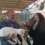 کارآفرینی زوج میبدی با پرورش بز سانن و بز آلپاین