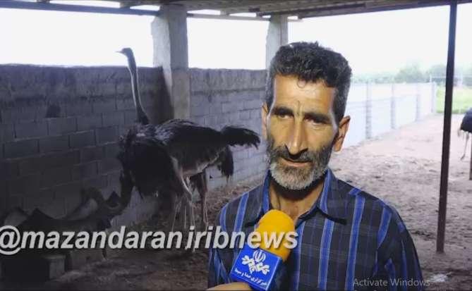 آقای رشیدی پرورش شتر مرغ در جویبار