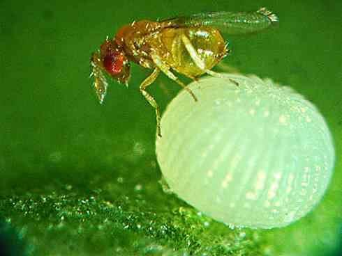 زنبورهای تریکوگراما (Trichogrammatidae)