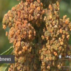 ایده تولید کینوآ (خاویار گیاهی)!